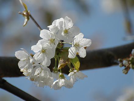 Brombachseer Kirschtorte Kirschblüte